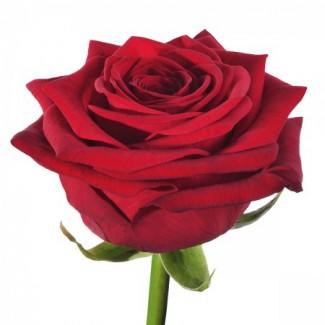 red-naomi-rose-450x450