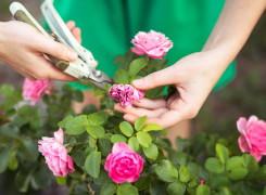 Правильный уход за розами в холодное время